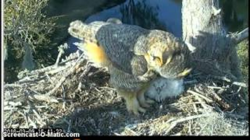 Savannah Owlets Have Snake For Dinner