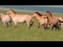 Лошади Пржевальского в оренбургских степях