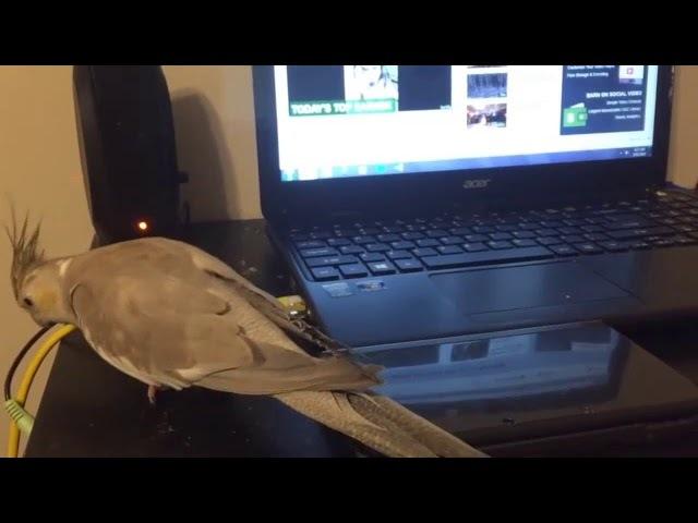 Попугай не любит метал