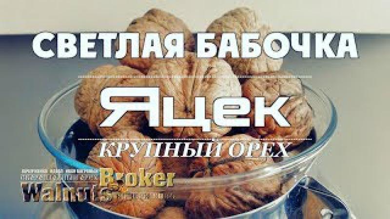 Сравнение орехов Идеал, Кочерженко, Иван Багряный с орехом Яцеком.