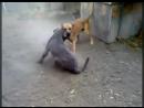 Пардог VS мастино Собачьи бои