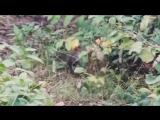 Соболь и Горностай - охота на зайца ...