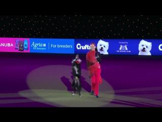 Международный Фристайл Heelwork Для Музыки Победитель Конкурса | На Crufts 2017