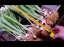 Выгонка тюльпанов(повторное использование луковицы)