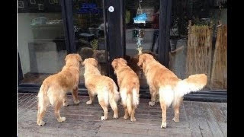 Внезапно четыре золотых ретривера остановились перед стеклянной витриной…