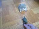 バジェットガエル vs おもちゃカメ  Screaming Budgett's frog