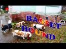Бассет-Хаунд Супер счастливые собаки ★ Северодвинск [SV Life]