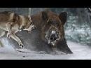 Охота на кабана зимой с собаками