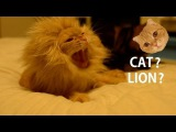 Transform oneself from Cat to Lion