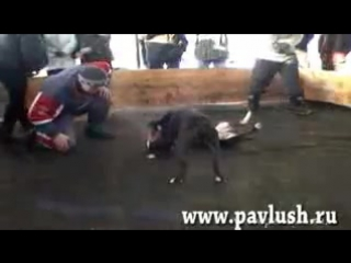 Собачьи Бои НЕ ДЛЯ СЛАБОНЕРНЫХ!!Американский питбуль против   бультерьера.