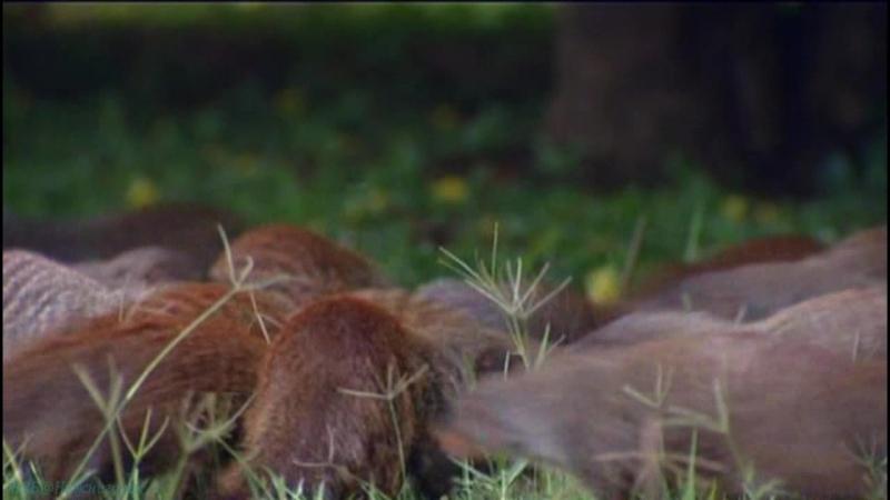 BBC «Полосатые братья: Банда мангустов» (8 серия) (Документальный, природа, животные, 2009)