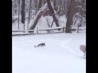 Пушистые любители снега