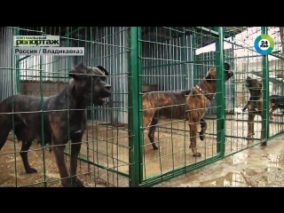 Alano espanol в россии!!! питомник iron dogs alano espanol!!!