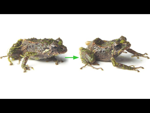 Pristimantis mutabilis - shape-shifting frog from Ecuador
