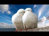 Аркадий Северный Голуби целуются на крыше