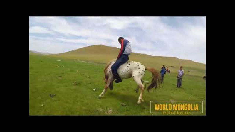 Как монголы объезжают лошадей