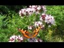 Трава долголетия у вас в саду - ДушицаOríganum vulgáre полезные свойства, применение