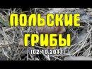 Собираем польские грибы. Разведка в сосновом лесу (02.10.2017)