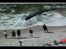 Гигантскую акулу вынесло на берег Giant Shark Washes up on Beach