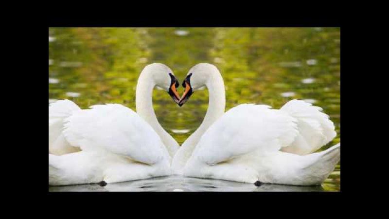 Два белых лебедя.исп. Вл. Захаров и гр Рок Острова. автор ролика Елена Безбородова.