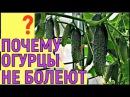 ОГУРЦЫ В ТЕПЛИЦЕ из поликарбоната С МАЯ ПО ОКТЯБРЬ Московская область