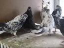 Николаевские торцовые голуби п. Тельманово