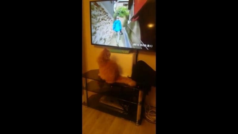 Мой любимый котик смотрит телевизор