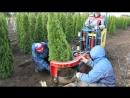 Выкопка растений из грунта итальянской машиной Pazzaglia (октябрь, 2017 год)