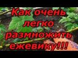 ЕЖЕВИКА - СУПЕР СПОСОБ РАЗМНОЖЕНИЯ !!! Зимнее размножение ежевики.