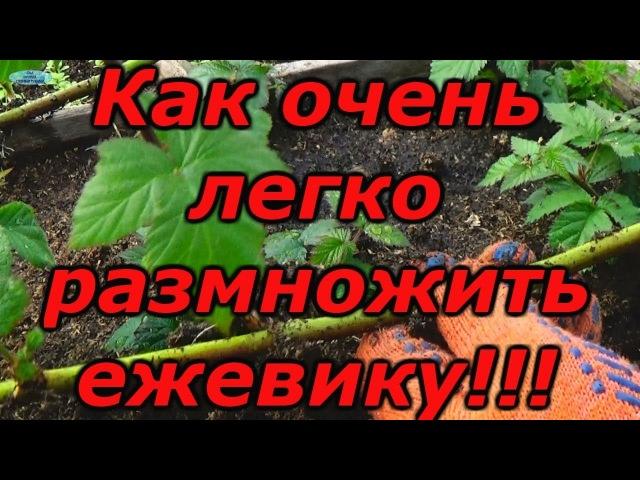 ЕЖЕВИКА - СУПЕР СПОСОБ РАЗМНОЖЕНИЯ Зимнее размножение ежевики.