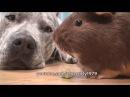 Guinea Pig LOVES DOG Pit Bull Sharky.