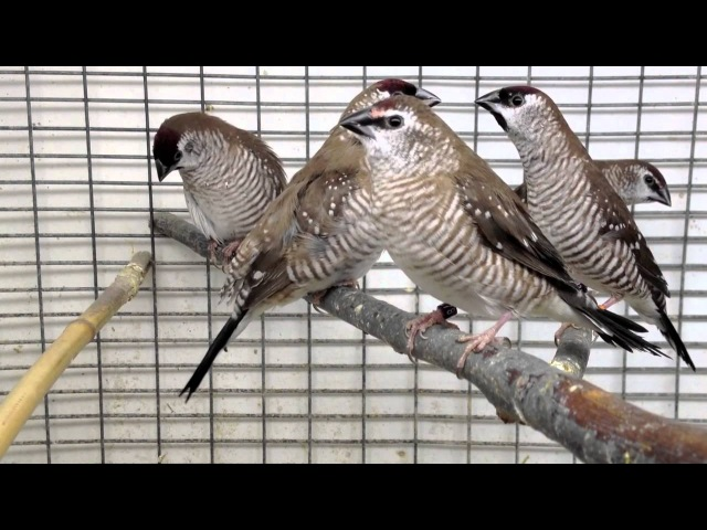 Plum-headed finches singing and peering