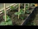 Вот почему ОГУРЦЫ дают плохой УРОЖАЙ Распространенные ОШИБКИ при выращивании огурцов ДАЧНЫЕ СОВЕТЫ