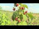 Ремонтантная малина от НПО «Сады России»