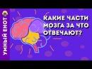 Какие части мозга за что отвечают Умный енот