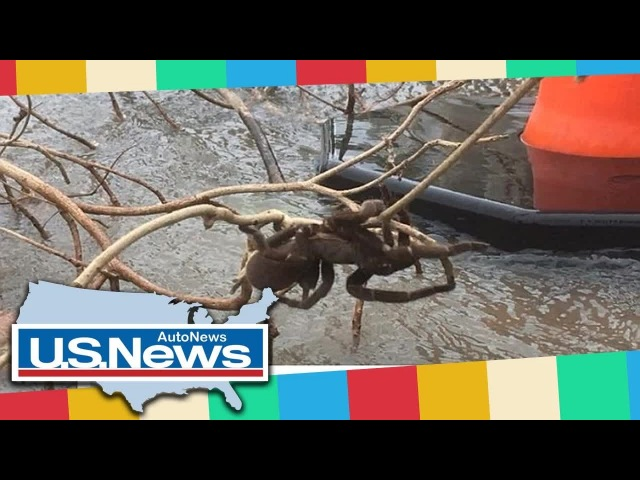 DailyMail News - Monster tarantula is saved from raging floodwaters in Australia