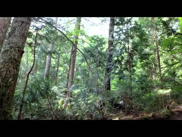 Настоящие Звуки природы Живой лес Пение птиц - релакс