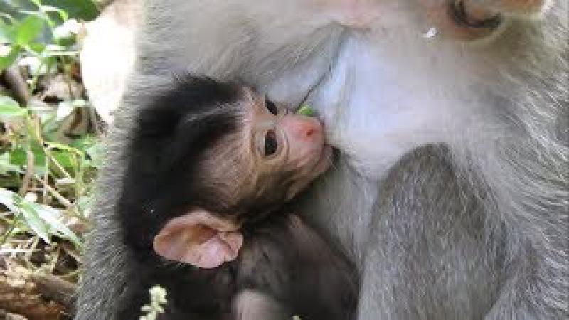 Baby Monkey Just Born 2 day - So lovely newborn baby monkey 200