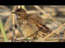 Buff winged cinclodes Полосатокрылый водяной печник Cinclodes fuscus