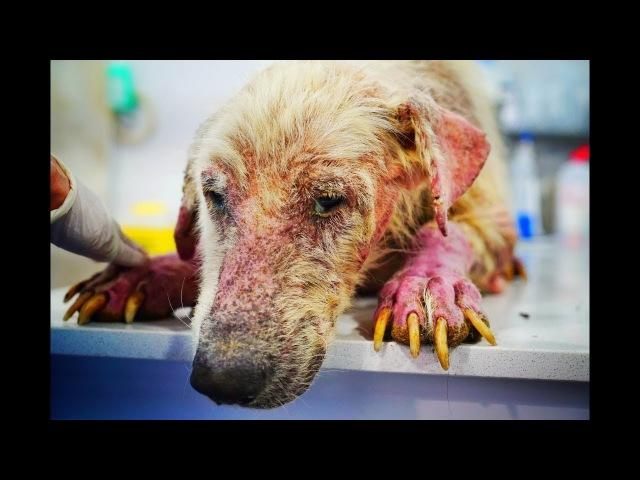 Преображение самого грустного пса в мире Amazing recovery of the Saddest Dog in the World