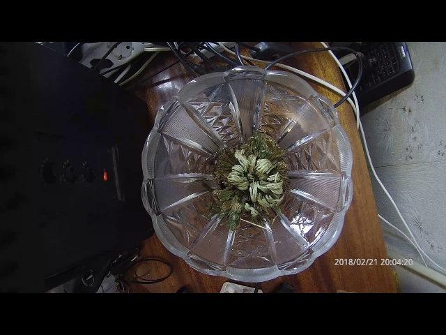Selaginella Moss Новый Magic воскрешение растений Роза Иерихона динозавров завод воздуха папоротник
