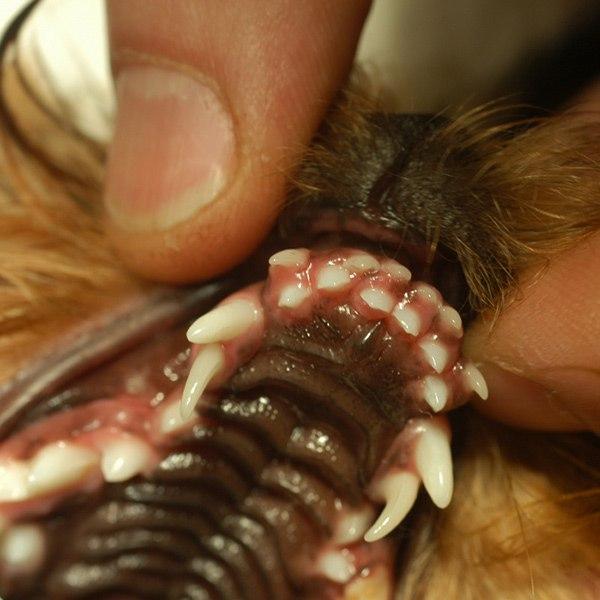 У ротвейлера родился щенок с необычной патологией