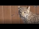 Леопард подружился с овчаркой