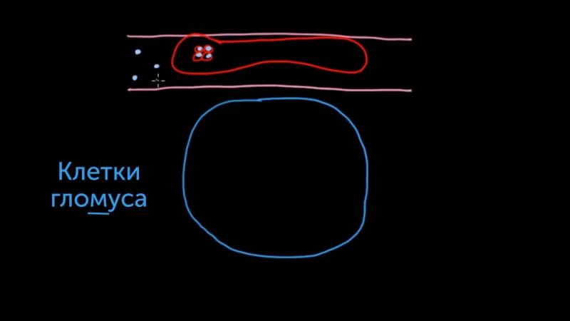 13. Периферические хеморецепторы