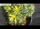 Тис средний Хикси - видео-обзор от Greensad