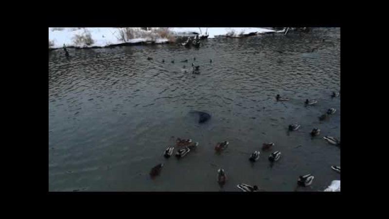 Бобер и водяная крыса в реке Химка. Покровское-Стрешнево.