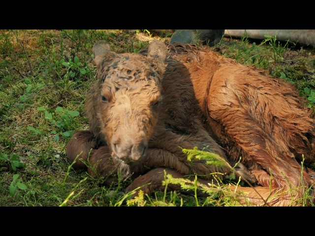 Лосеферма Печоро-Илычского заповедника Moose-farm of Pechora-Ilych reserve
