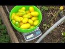 Интересный опыт: выращивание томатов по методу А.К. Попова