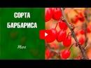 Сорта барбариса 🌟 Топ самых ярких кустарников видео обзор HitsadTV
