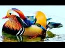 Птицы зоопарка - очень красивая разноцветная утка мандаринка чистит своё оперен